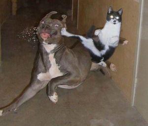 chuck_norris_cat