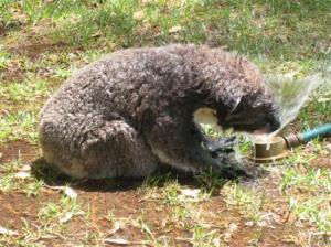 koala32