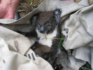koala42