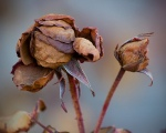 dead-rose